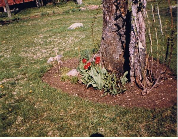 miltons-flower-gardening-rose-bush-in-spring