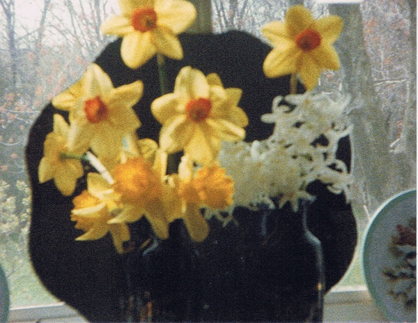 miltons-flowers-daffodils-by-kitchen-window
